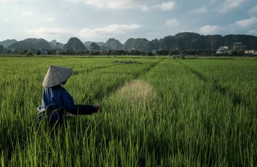 Landscape Sprawling Rice Fields And Mountain Backdrop