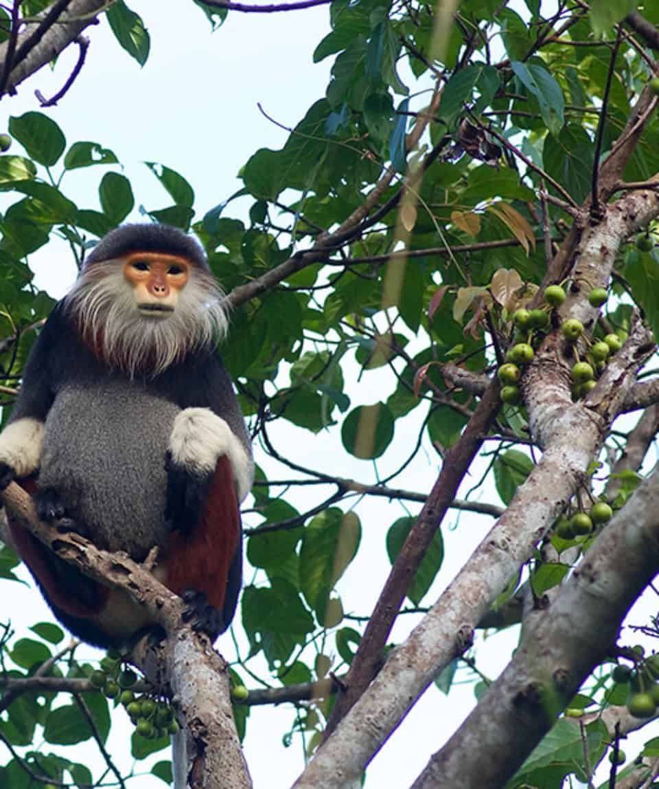 Langur money in the jungle of Son Tra in Danang, Vietnam