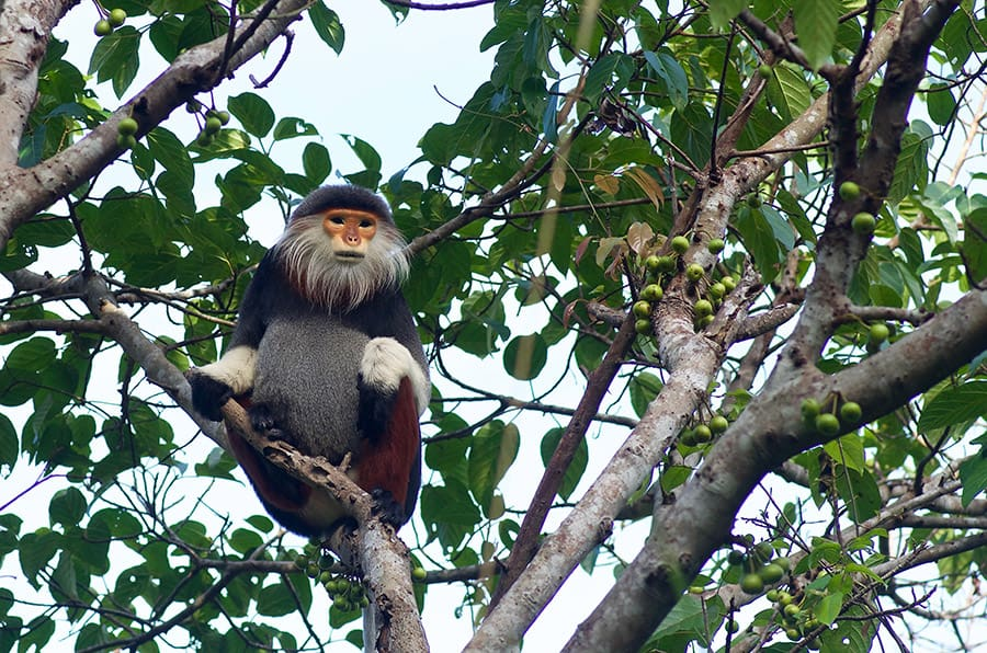 Capturing the Langur monkkey with hoi an wildlife photography tour