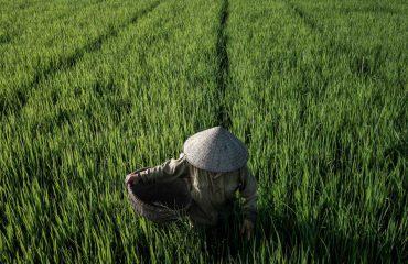 Farmer in a rice field