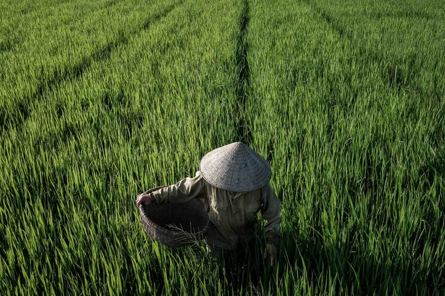 A famer in a rice field taken during hoi an photography tour and workshop