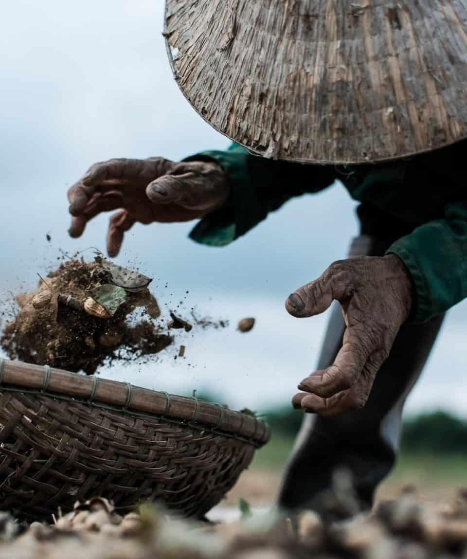 Farmer throwing peanuts in a basket