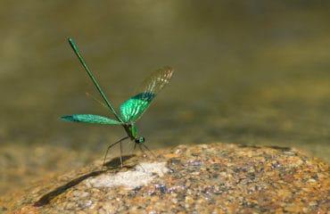 Dragonfly in Hoi An, Vietnam